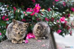 山茶花とネコさん(4)