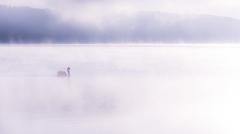 朝霧と白鳥