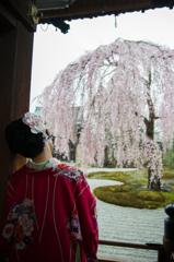こころ、うばわれる-高台寺のしだれ桜-