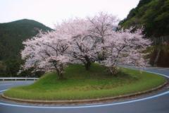 ヘアピン桜