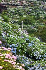 紫陽花の咲く斜面