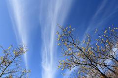 ロウ梅とヒコーキ雲