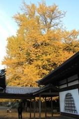 樹齢800年。
