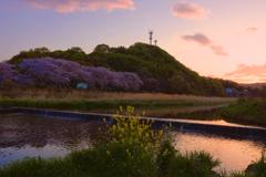 川べりの桜