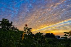 夕焼け雲と向日葵