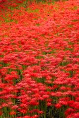 「赤いじゅうたん」と呼びたくなる。
