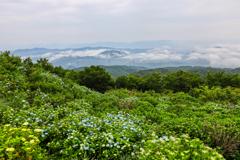 高原のアジサイ