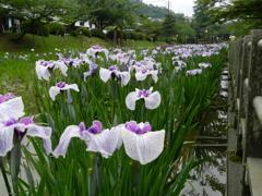 岩国城下の菖蒲園