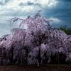 枝垂桜の夢