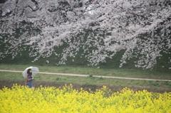 桜と菜の花と傘