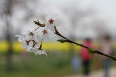 桜にしずく