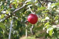 新世界りんご