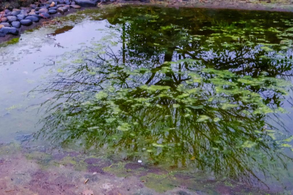 枯れ池の開花