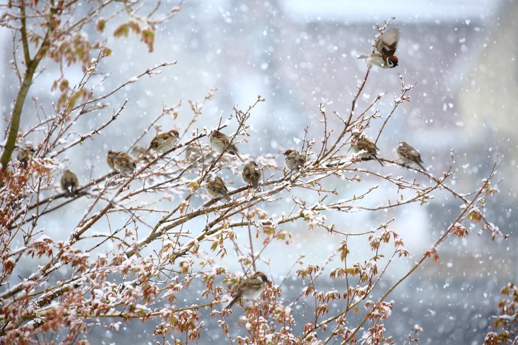 困惑する雀たち、
