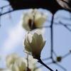 庭の花:モクレン