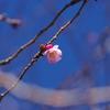 桜咲く春近し