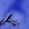 庭の花:オオシマサクラの開花