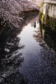 桜模様の神田川