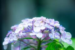 紫陽花苑で Ⅱ