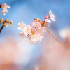 冬に咲く寒桜 Ⅱ