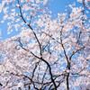 六義園のしだれ桜 Ⅱ