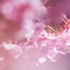 桜色に染まる。