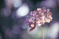 1月の紫陽花