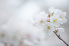 桜の雲の中で Ⅲ