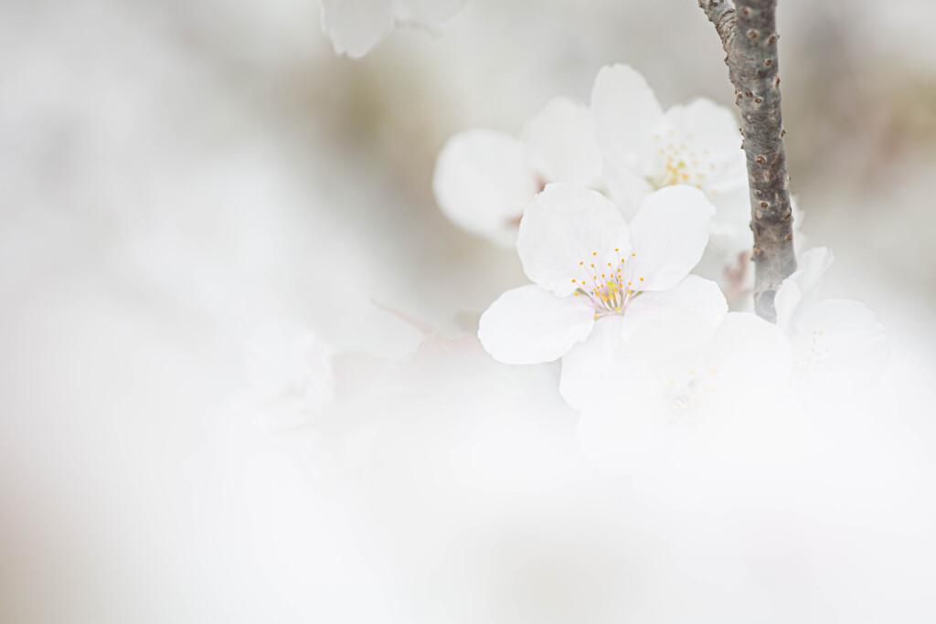 桜の雲の中で Ⅱ