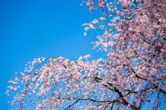 六義園のしだれ桜 Ⅰ