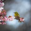 寒桜とメジロ Ⅱ