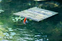 『鯉ジャンプ』
