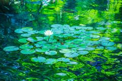 睡蓮のある池