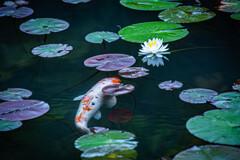 鯉 meets 睡蓮