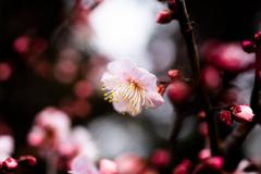 初春の梅 Ⅱ