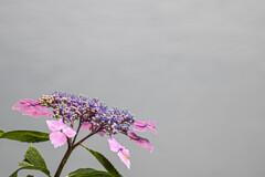 ガクアジサイも咲いてます。