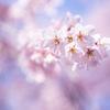 六義園のしだれ桜 Ⅷ