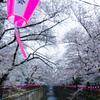 目黒川の桜 Ⅴ