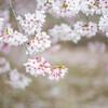 春を惜しむ。