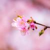 河津桜が咲く。 Ⅱ