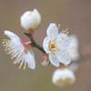 春を知らせる白い梅 Ⅱ