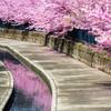 桜の水路で。