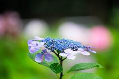 紫陽花苑で