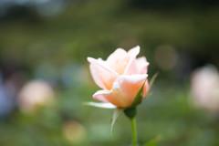 薄橙色の薔薇
