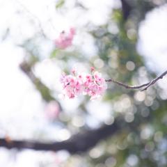 桜の季節 Ⅱ