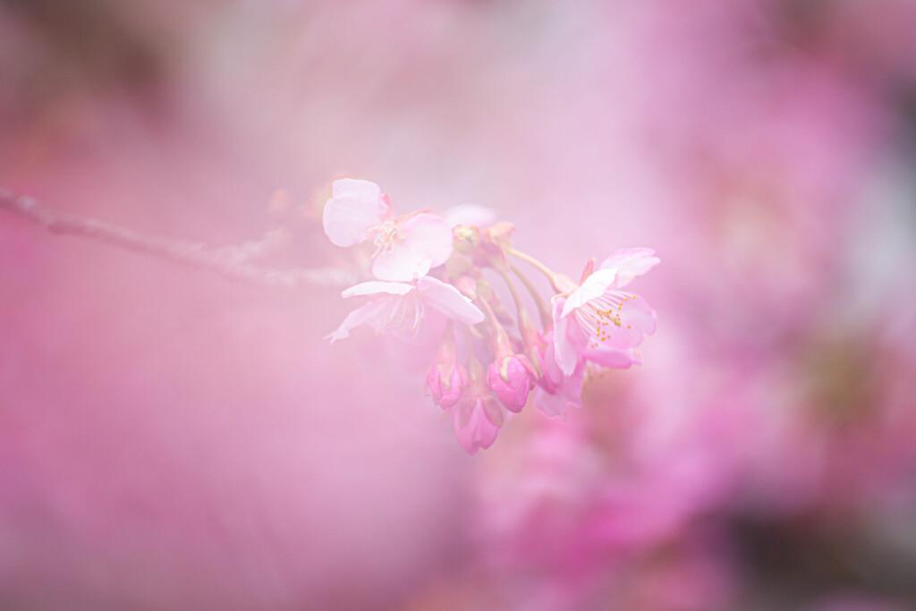 桜色のベールに。