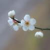 春を知らせる白い梅 Ⅰ