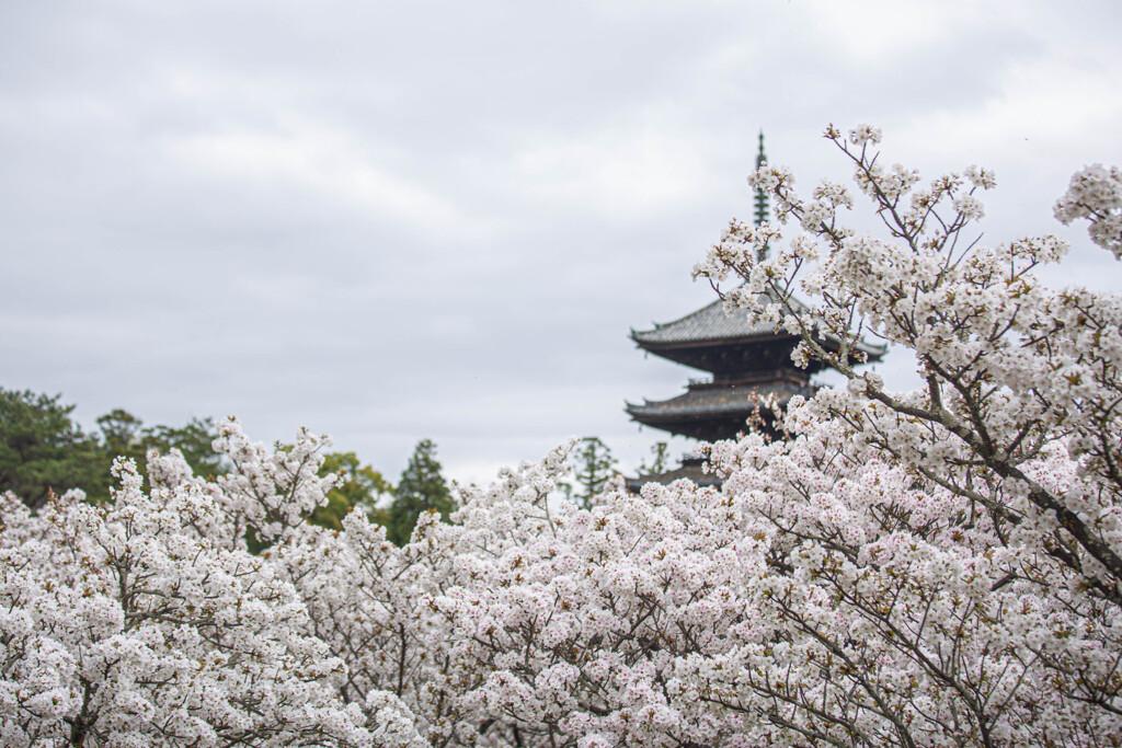 桜の雲と五重塔