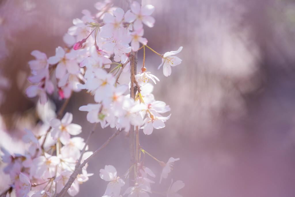 しだれ桜 Ⅲ