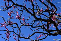 2分咲きの紅梅